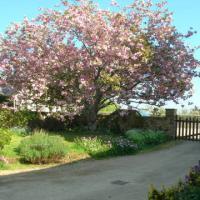 Le cerisier japonais