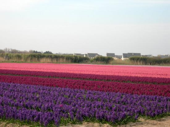 champs de jacinthes à la Torche