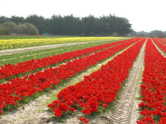 champs de tulipes à la Torche